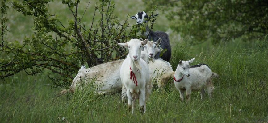 eco-friendly goat mowers